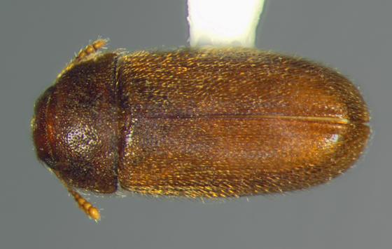 Mycetophagidae, dorsal - Typhaea stercorea