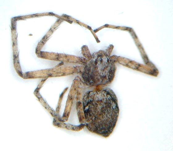 Crabbie 01 - Philodromus vulgaris - female