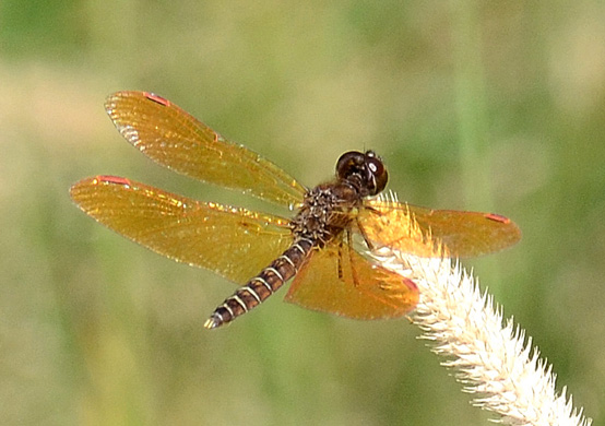 Eastern Amberwing - Perithemis tenera - male