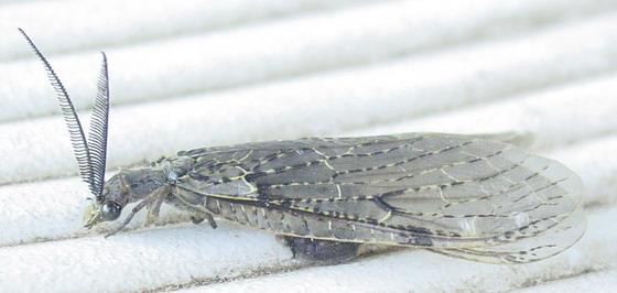 Chauliodes pectinicornis