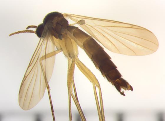 Keroplatidae, dorsal lateral - Orfelia - male