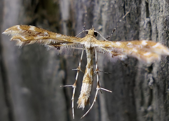 plume moth - Sphenarches anisodactylus