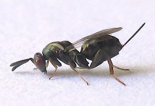 Small Wasp - Monodontomerus - female