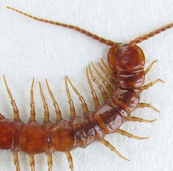 Stone centipede bugguide net for Ka chentapete