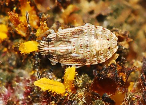 Nymph (stink bug?) on encelia - Nysius