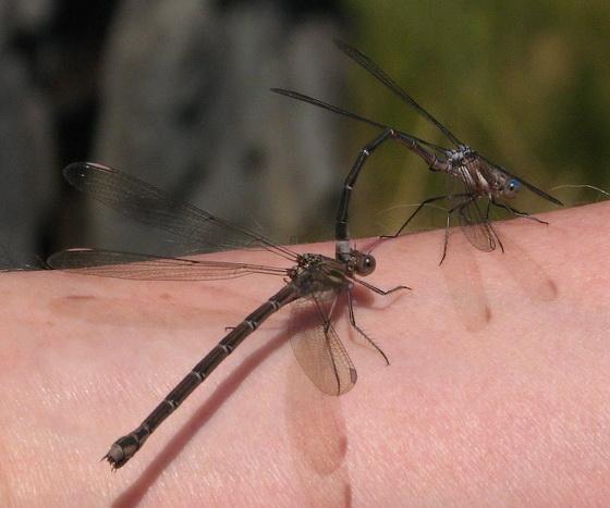 California spreadwing - Archilestes californica - male - female