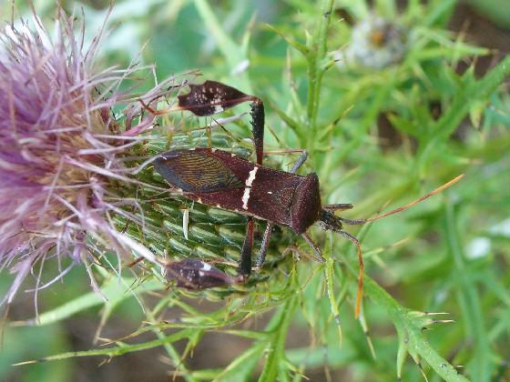 Leptoglossus phyllopus? - Leptoglossus phyllopus
