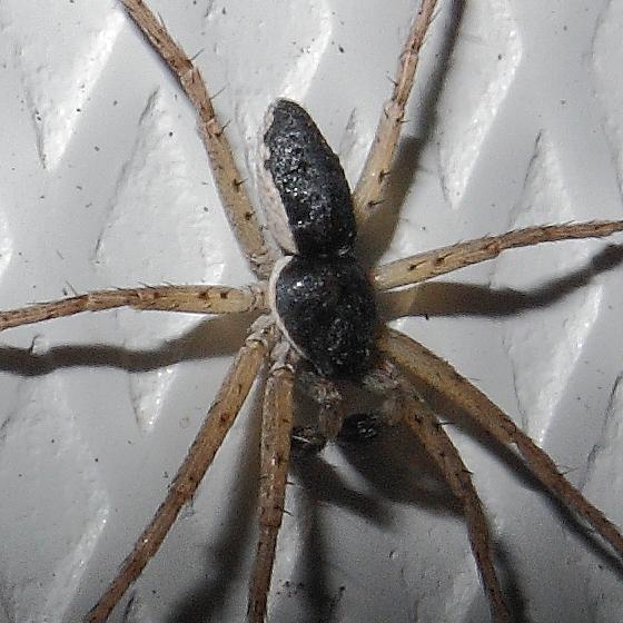 Spider - Philodromus dispar - male