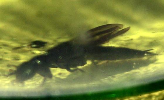 Rove Beetle? - Philonthus