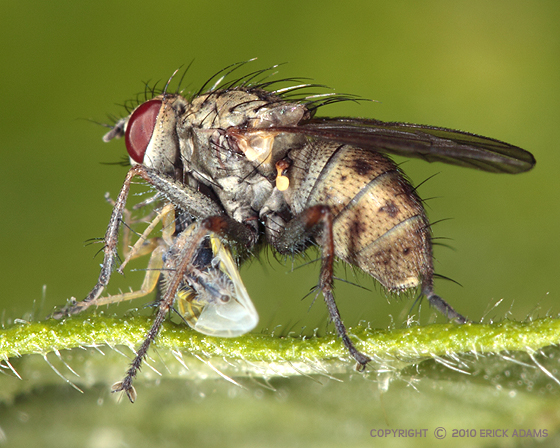 Fly eating Leafhopper - Coenosia tigrina