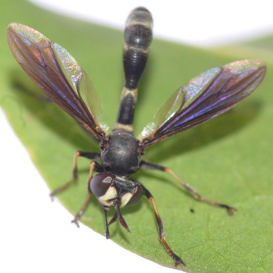 Conopid - Physocephala tibialis