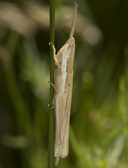 toothpick grasshopper - Paropomala pallida