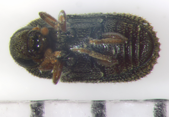 Scolytinae, ventral - Hylurgopinus rufipes