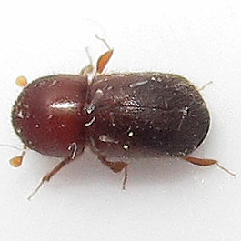 Asian Ambrosia Beetle - Xylosandrus crassiusculus - female