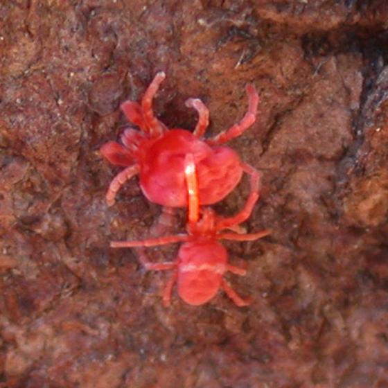 Red mites - Trombidium