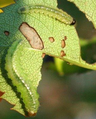 Sawfly [larvae] ID Request - Cladius difformis