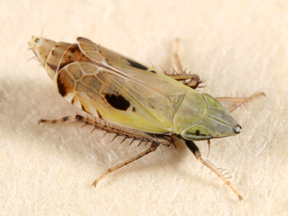 leafhopper - Flexamia areolata
