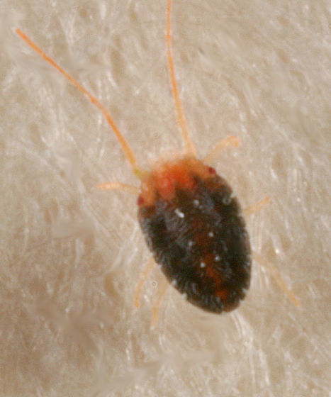 small mite - Bryobia