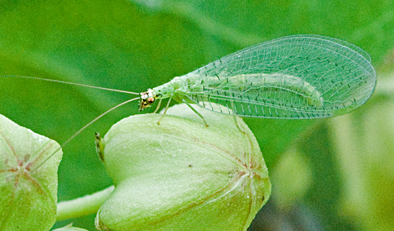 Green Lacewing - Chrysopa oculata