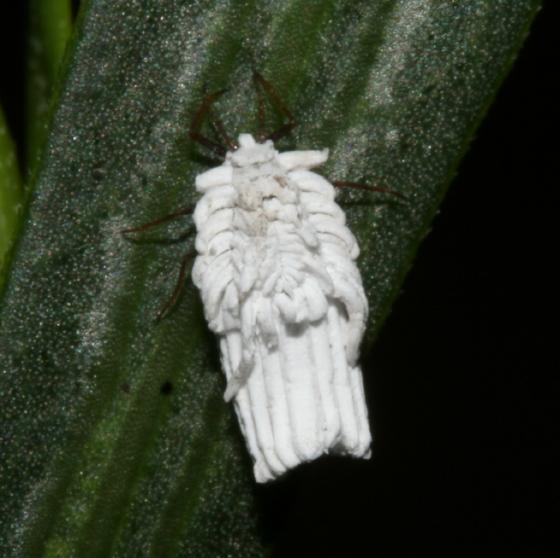 Ortheziidae - Orthezia - female