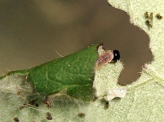 Larva in shelter - Onycholyda sitkensis