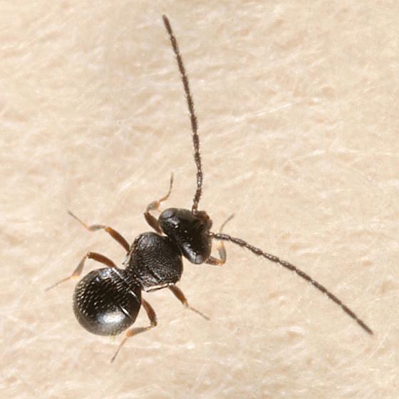 wingless wasp - Trimorus - male
