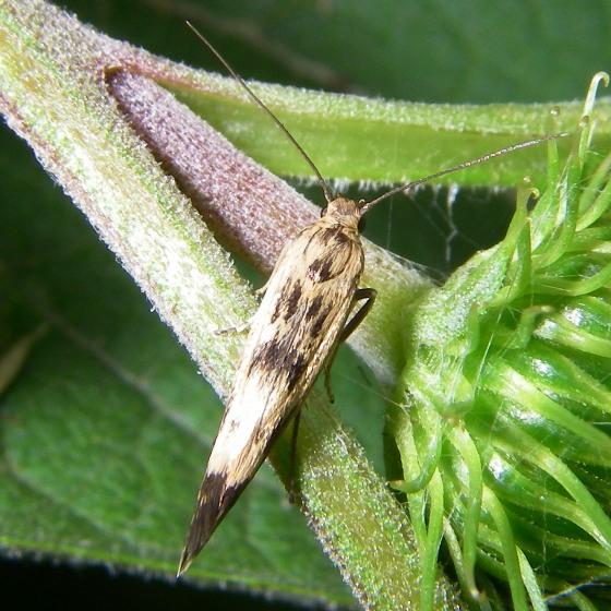 moth - Scythris limbella