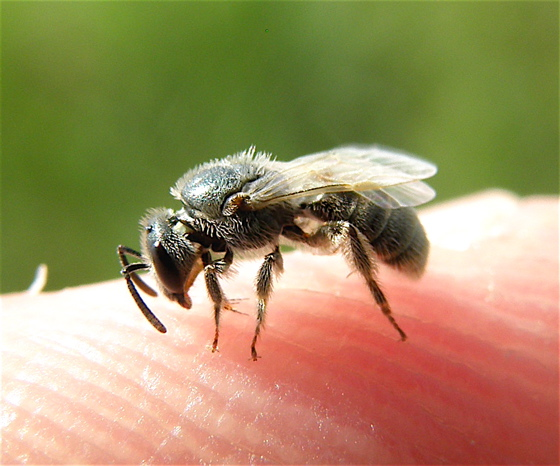 Sweat Bee - Lasioglossum