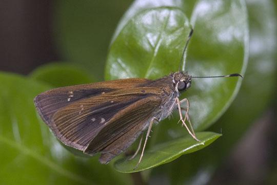 Three-spotted skipper basking - Cymaenes tripunctus