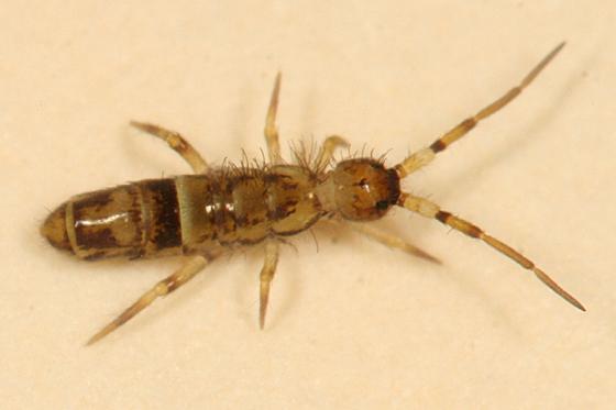 springtail - Orchesella cincta