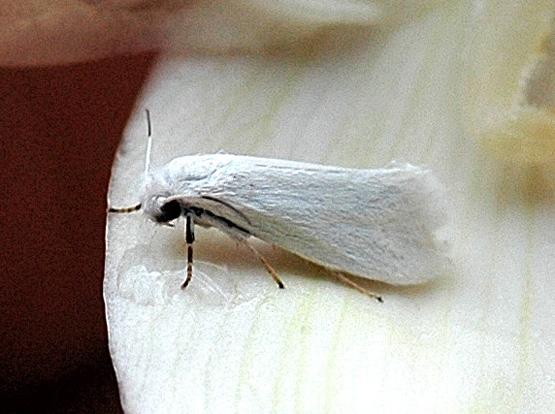 Prodoxinae sp.