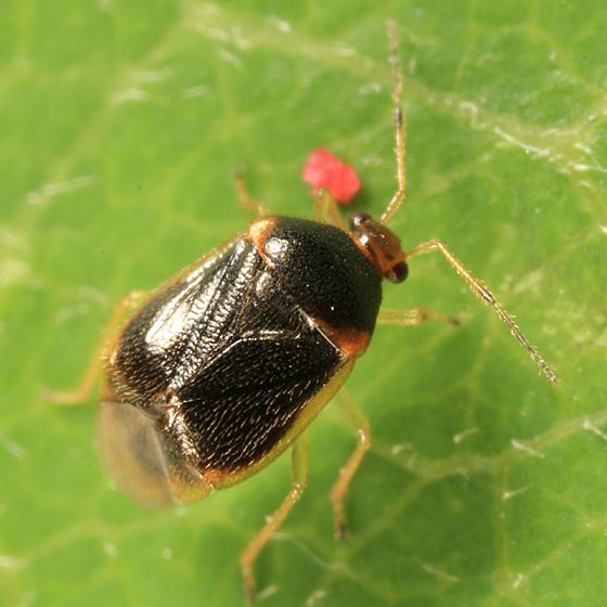 Plant Bug - Monalocoris americanus