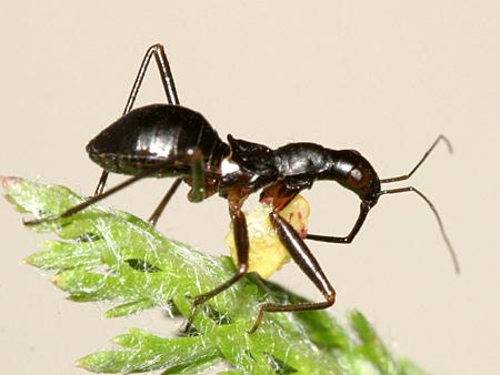 Damsel bug nymph - Nabis subcoleoptratus
