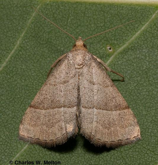 Moth - Zelicodes linearis