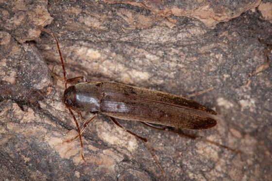 Arboreal Click Beetle - female