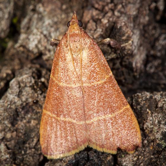 Arta sp.? - Caphys arizonensis