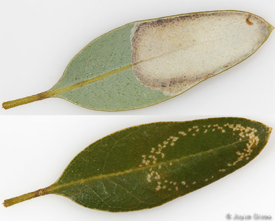 yellow & green wasp (leaf) - Phyllonorycter