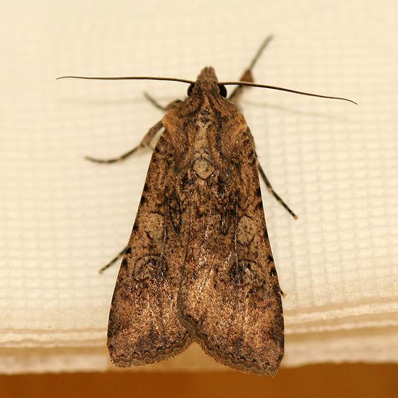 Desert Moth - Peridroma saucia