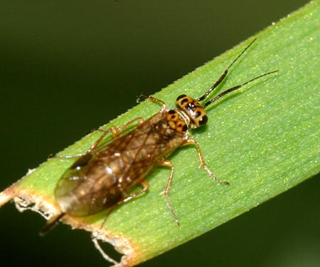 Sawfly - Xyela - female