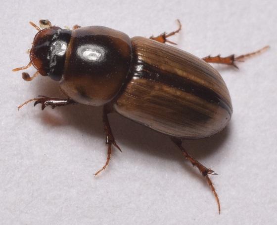 Aphodius pseudolividus ? - Aphodius lividus