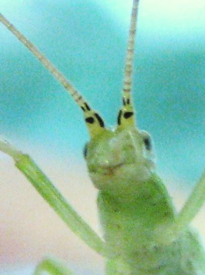 Antennal markings of Fast-calling tree cricket - Oecanthus celerinictus - female