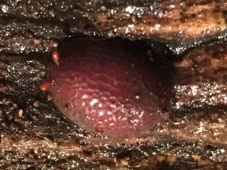 Scale like insect on dead wood - Microdon