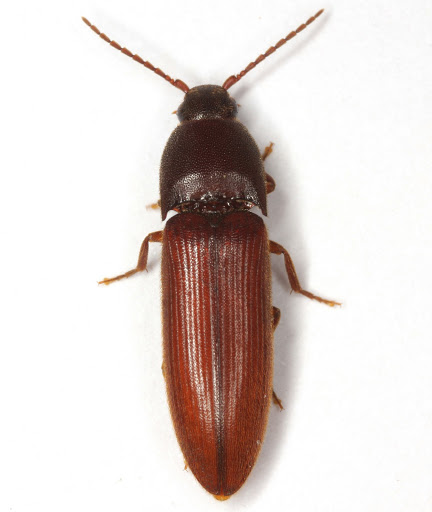 Anchastus subdepressus Fall - Anchastus subdepressus