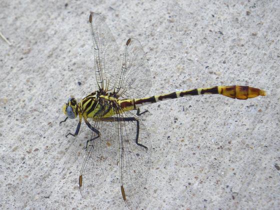 Clubtail - Dromogomphus spoliatus