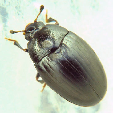dark erotylid - Tritoma unicolor