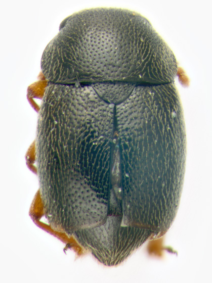 Kateretidae, dorsal - Brachypterus urticae