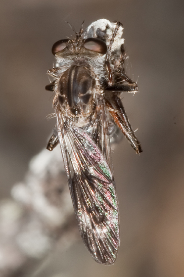 Nicocles aemulator - male