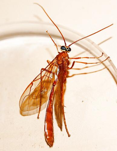 Slender Red-Orange Wasp (Ventral View) - Enicospilus