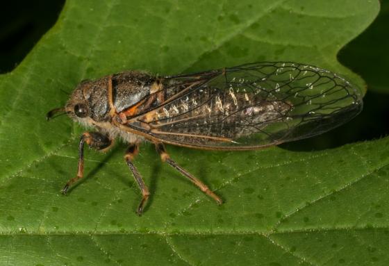 cicada 1 - Platypedia