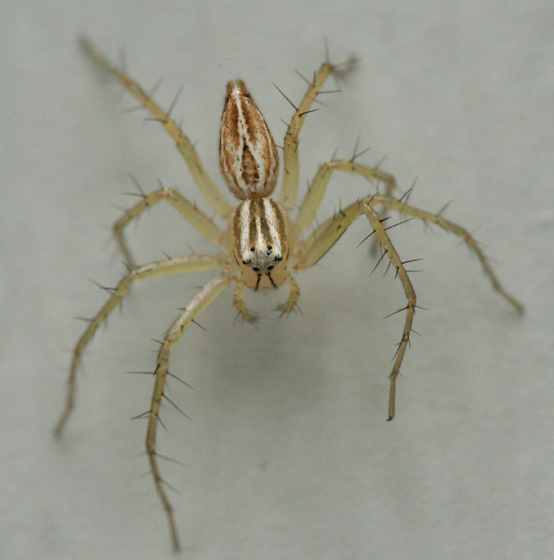 Striped Lynx - Oxyopes salticus - female